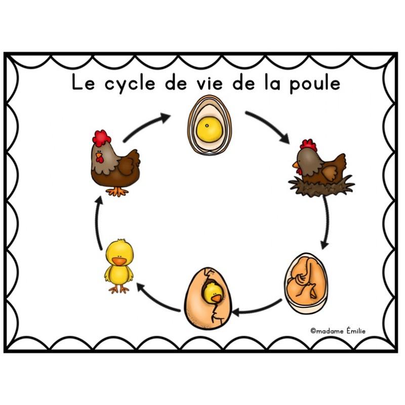 Cycle de vie la poule for Duree de vie des poules pondeuses